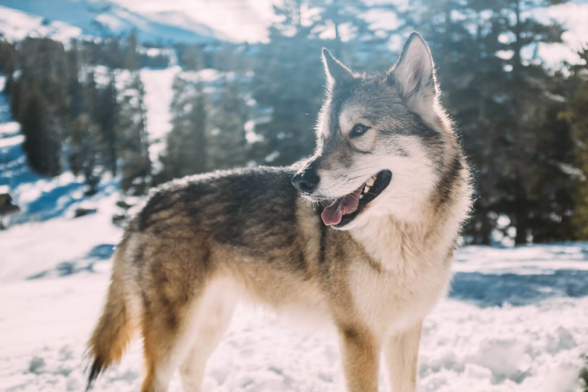 A wolf in the mountains in the snow