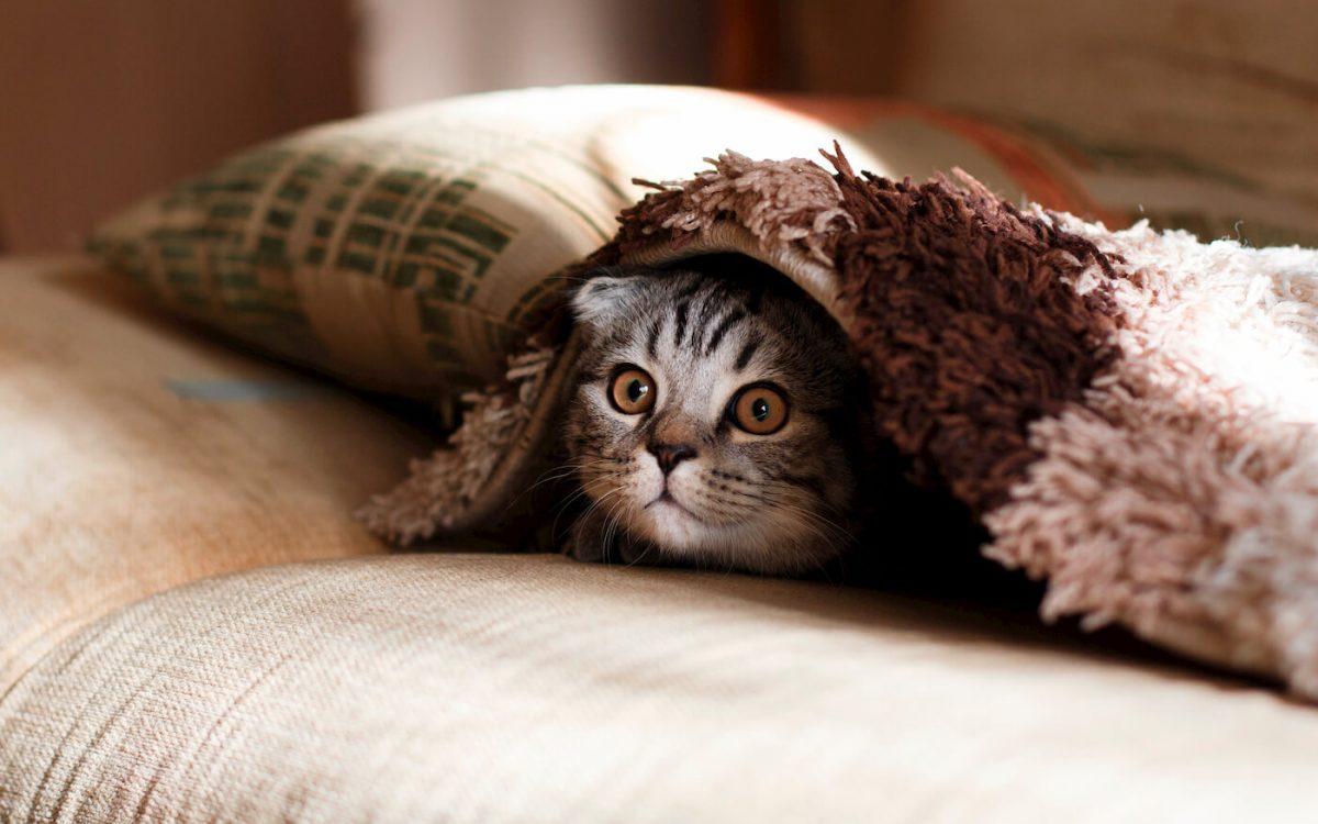 Cat under a blanket