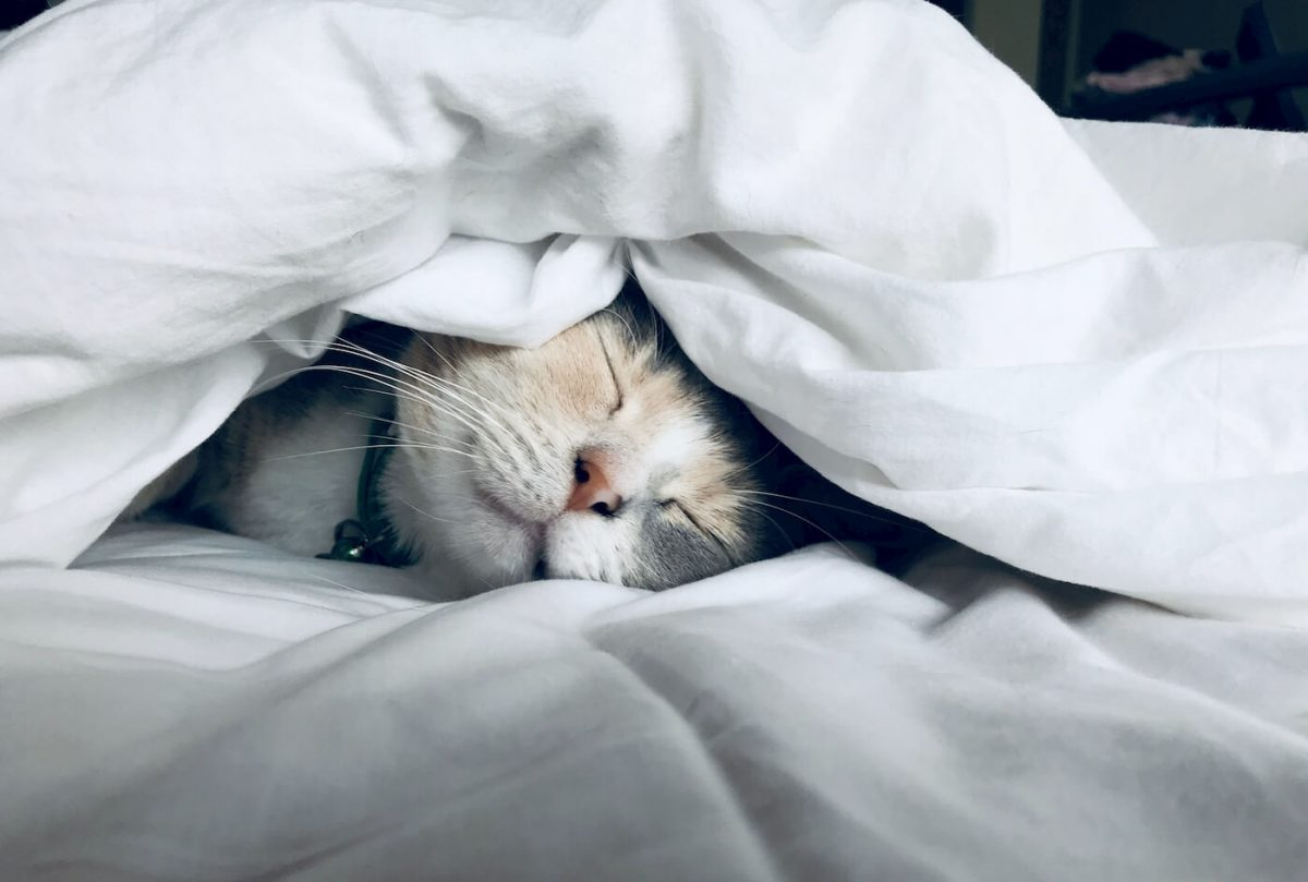 A cat under a blanket